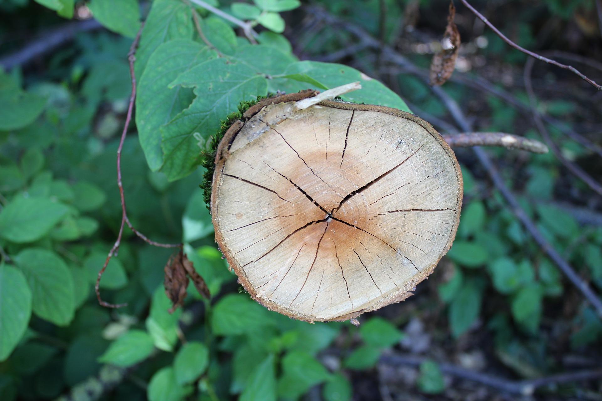 Baumscheibe mit Jahresringen als Symbol für das Leben vor jungen und abgestorbenen Blättern
